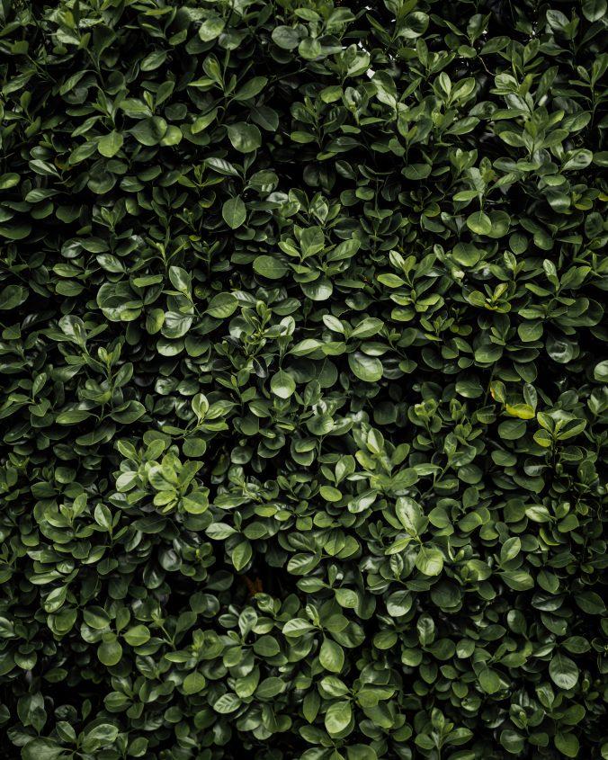 plantning af bøgehæk